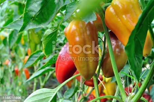close-up of ripening peppers in the vegetable garden in the organic pepper plantation