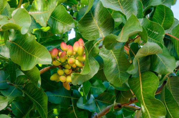 Primer plano de la maduración de las tuercas de pistacho en árbol - foto de stock