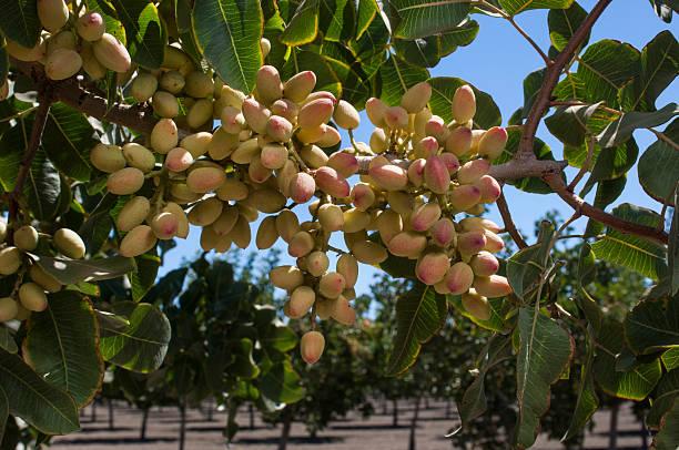 Close-up of Ripening tuercas de árbol de pistacho - foto de stock