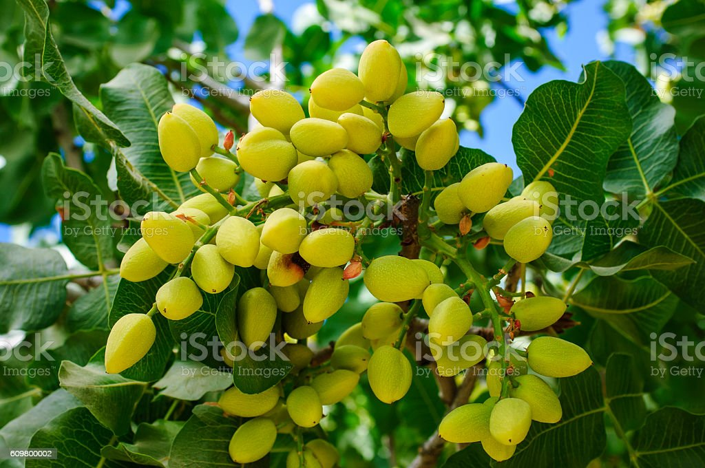 Close-up of Ripening tuercas de árbol de pistacho - foto de stock