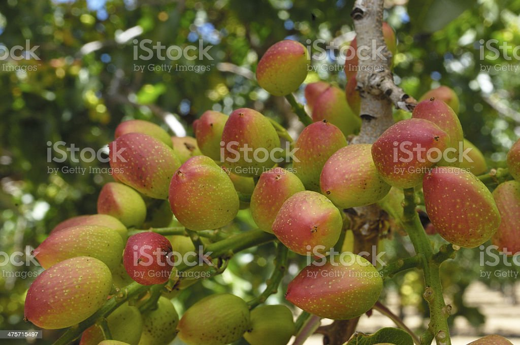 Close-up of Ripening Pistachio on Tree royalty-free stock photo