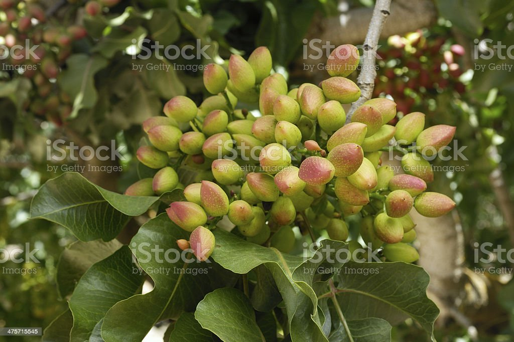 Close-up of Ripening Pistachio on Tree royalty-free stock photo
