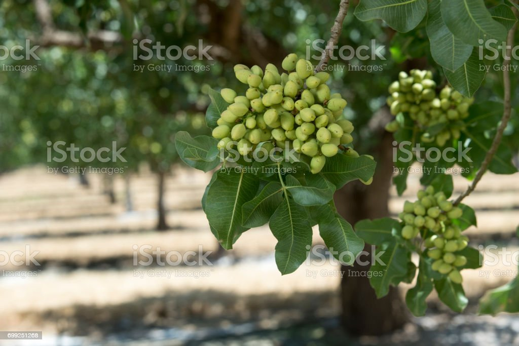 Close-up of Ripening árbol de pistacho  - foto de stock