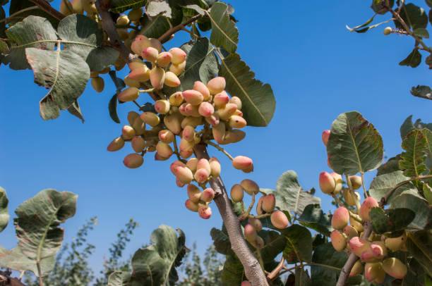 Close-up of Ripening árbol de pistacho  - foto de stock