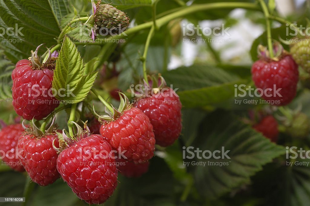 Close-up of Ripening Raspberries on the Vine royalty-free stock photo