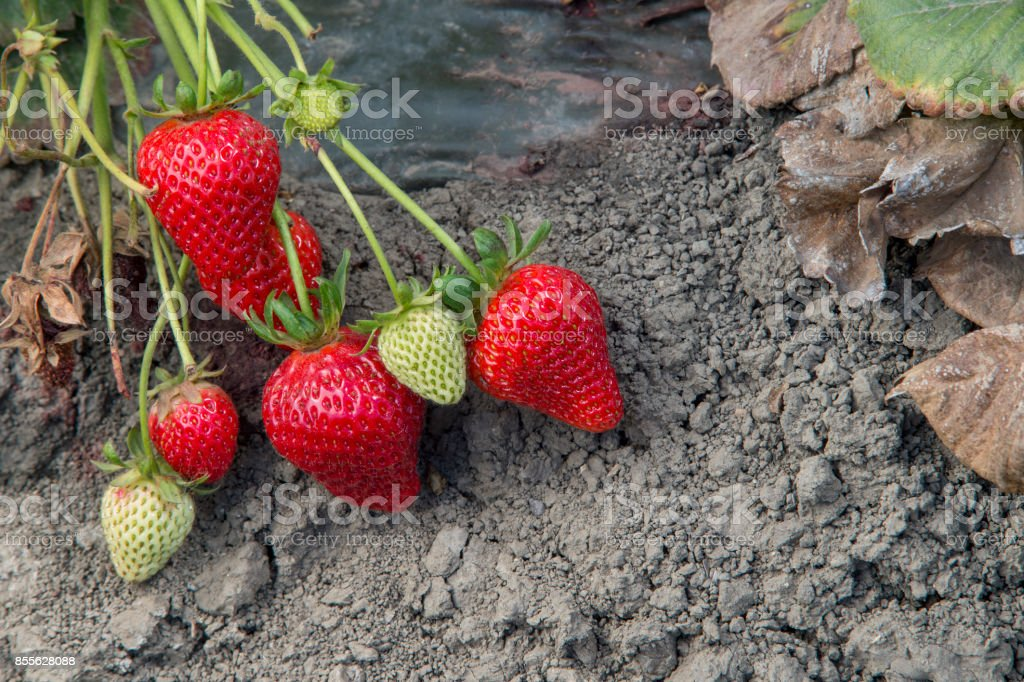Close-up of Ripening Strawberies on the Vine stock photo