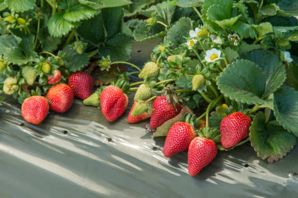 Close-up of Ripening Strawberries on the Vine Close-up of ripening strawberries on the vine.  Taken in Watsonville, California, USA strawberry field stock pictures, royalty-free photos & images