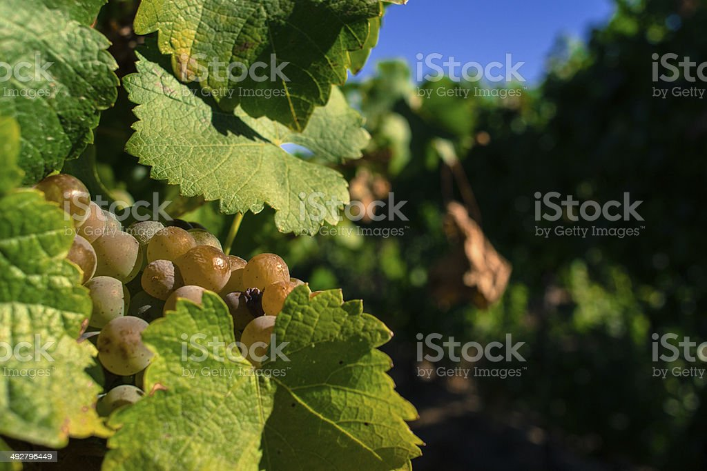 Closeup of ripening white wine grapes warming under the sun stock photo