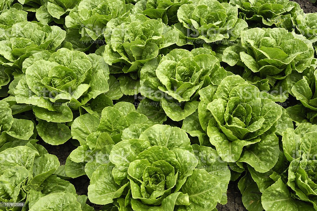 Close-up of Romaine Lettuce Growing in Field royalty-free stock photo