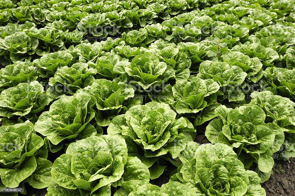 Close-up of Romaine Lettuce stock photo