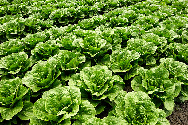 """Close-up of Romaine Lettuce """"Close-up of romaine lettuce growing on a farm.Taken in Watsonville, California, USA.Please view related images below or click on the banner lightbox links to view additional images, from related categories."""" romaine lettuce stock pictures, royalty-free photos & images"""