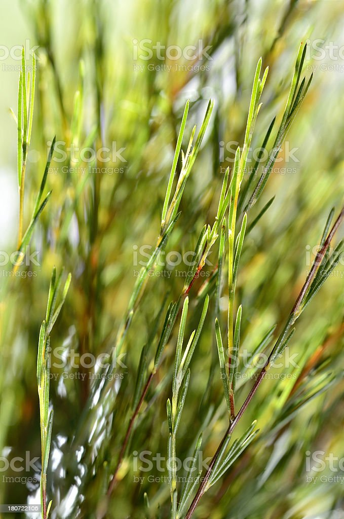 Close-up of rooibos tea leaves background stock photo