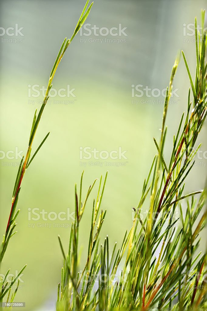 Close-up of rooibos tea leaves with copy space stock photo