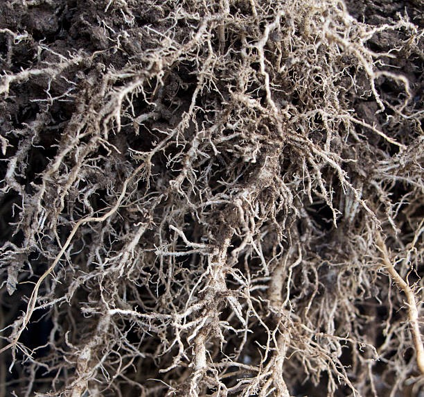 Close-up of root system of a maize plant Close up of the root system of a maize plant root hair stock pictures, royalty-free photos & images