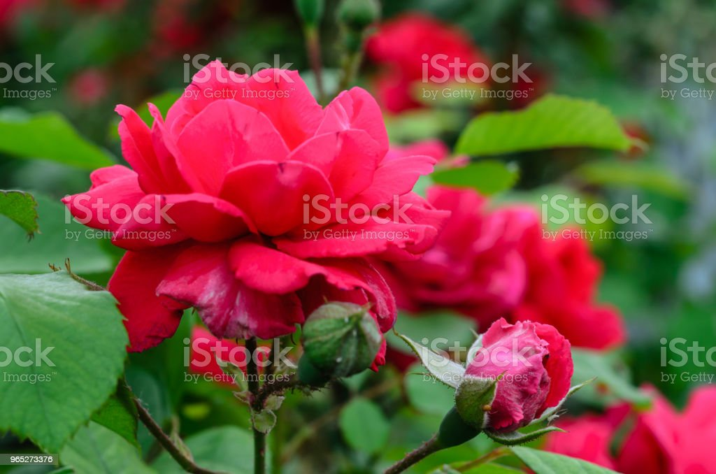 Close-up of rose flowers royalty-free stock photo