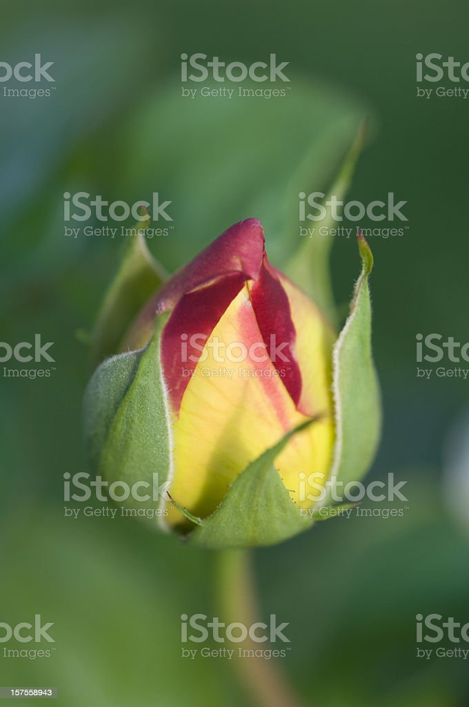 Closeup of rosebud royalty-free stock photo
