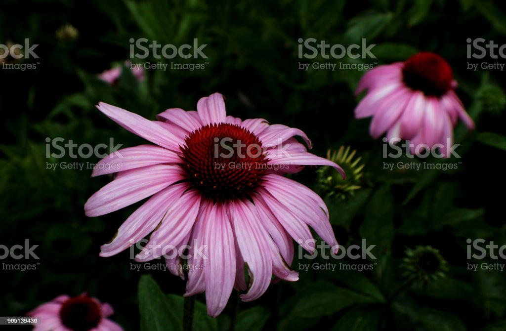 Closeup of Rose-red Coneflower against dark background royalty-free stock photo