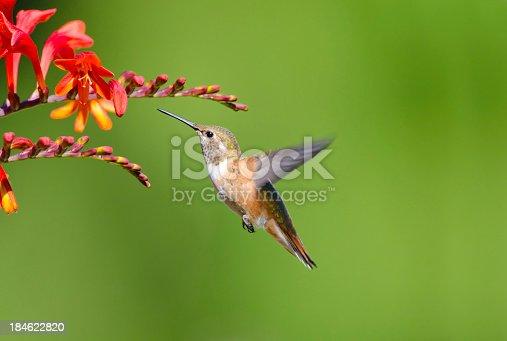 Rufous Hummingbird Hovering & feeding on Crocosma flowers.