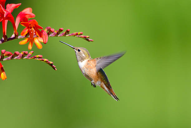 Closeup of Rufous hummingbird and Crocosmia flowers stock photo