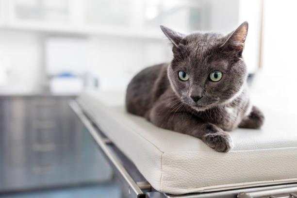 Nahaufnahme der russischen blauen Katze liegt auf dem Bett in der Tierklinik – Foto