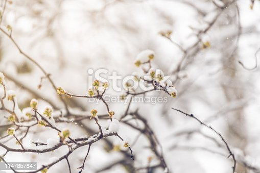 Closeup of sakura cherry blossom tree buds branches in spring covered in snow after snowstorm with vintage soft sunlight