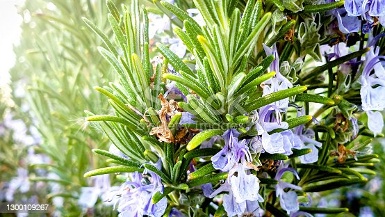 Also known by the old scientific name Rosmarinus officinalis
