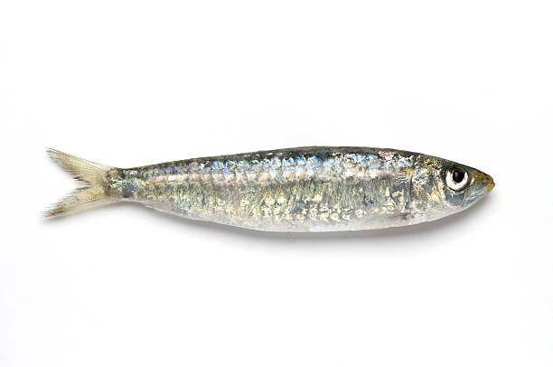 close-up of sardine against white background - herring stock photos and pictures