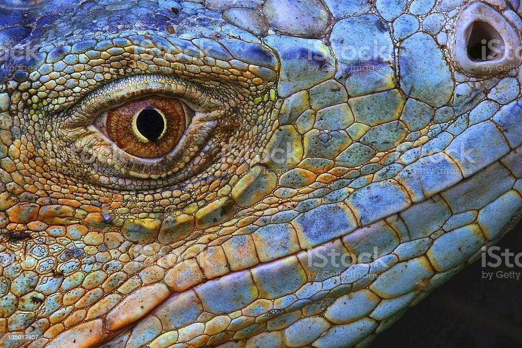 Close-up of scaly Blue Iguana head stock photo