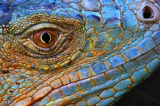 Close-up of scaly Blue Iguana head stock photo