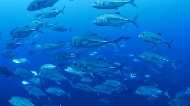 Close-up of school of Trevally Jack fish undersea stock photo