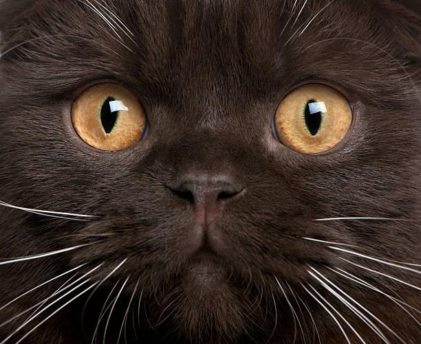 nahaufnahme von schottische falten katze, 8 monate alt - hundeplätze stock-fotos und bilder
