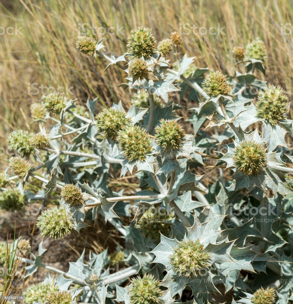 Close-up of Sea Holly, Eryngium maritimum, growing on the dunes stock photo