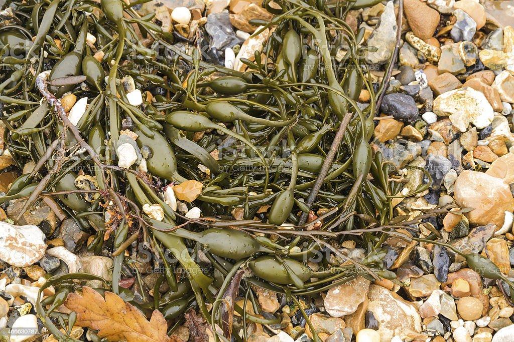 Closeup of seaweed Ascophyllum nodosum, commonly egg wrack. stock photo