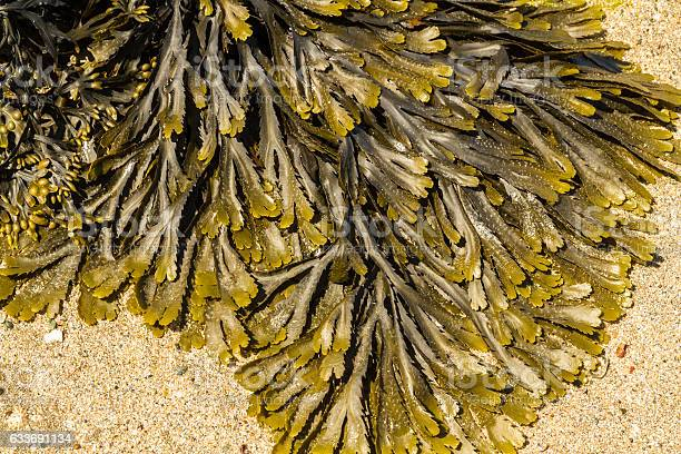 Photo of Closeup of seaweed Fucus serratus commonly toothed wrack.