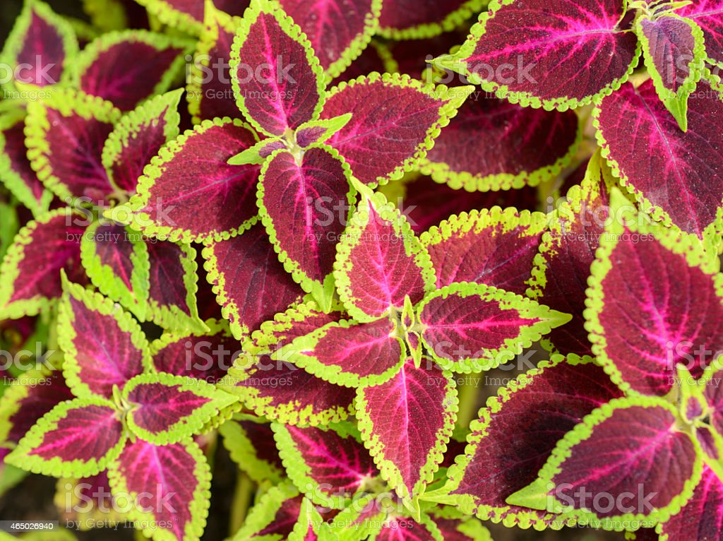 Coleus Pictures Images and Stock Photos iStock
