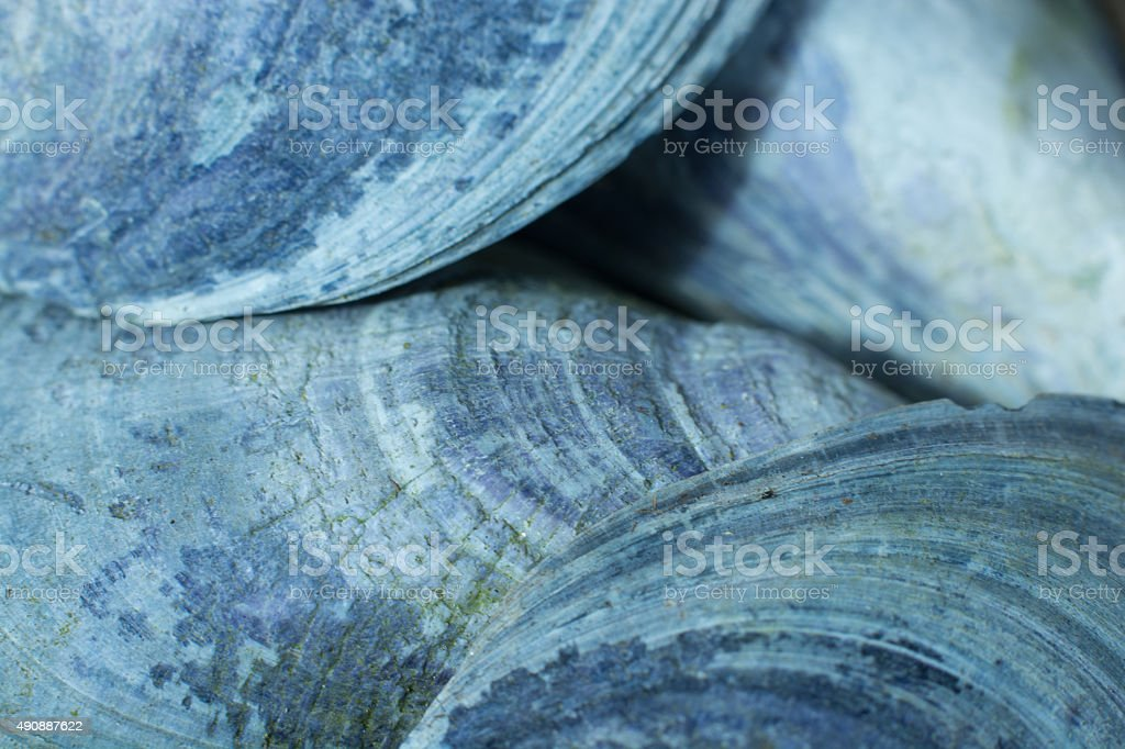 Closeup of shells from mussels with denim color stock photo