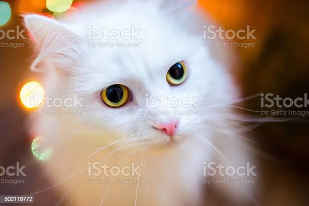 Closeup of shorthair white cat picture id502119772?b=1&k=6&m=502119772&s=612x612&h=a mwmwqdyoonbphku3iaqq6plqhr r 6slcqgv9vmt4=