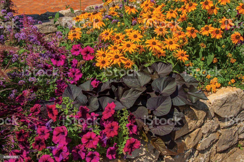 Close-up of shrubs and colorful flowers in flower pot in the morning sun with blue sky in Figanières. stock photo