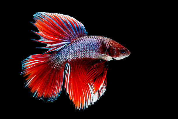Close-up of Siamese Fighting Fish stock photo