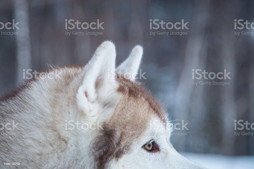 Close-up of Siberian Husky dog eyes on winter forest background