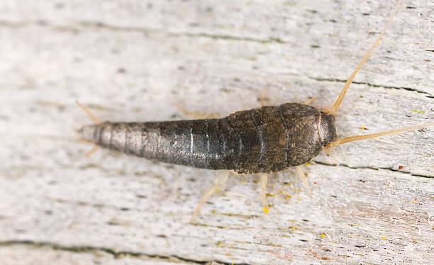 Closeup of silverfish sitting on wood​​​ foto