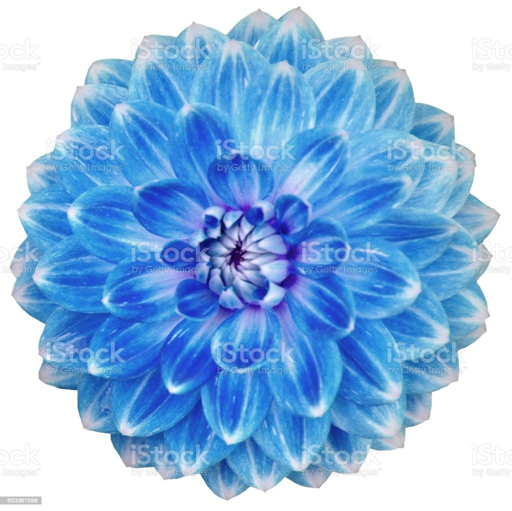 Close-up of single blooming blue dahlia flower isolated on white stock photo