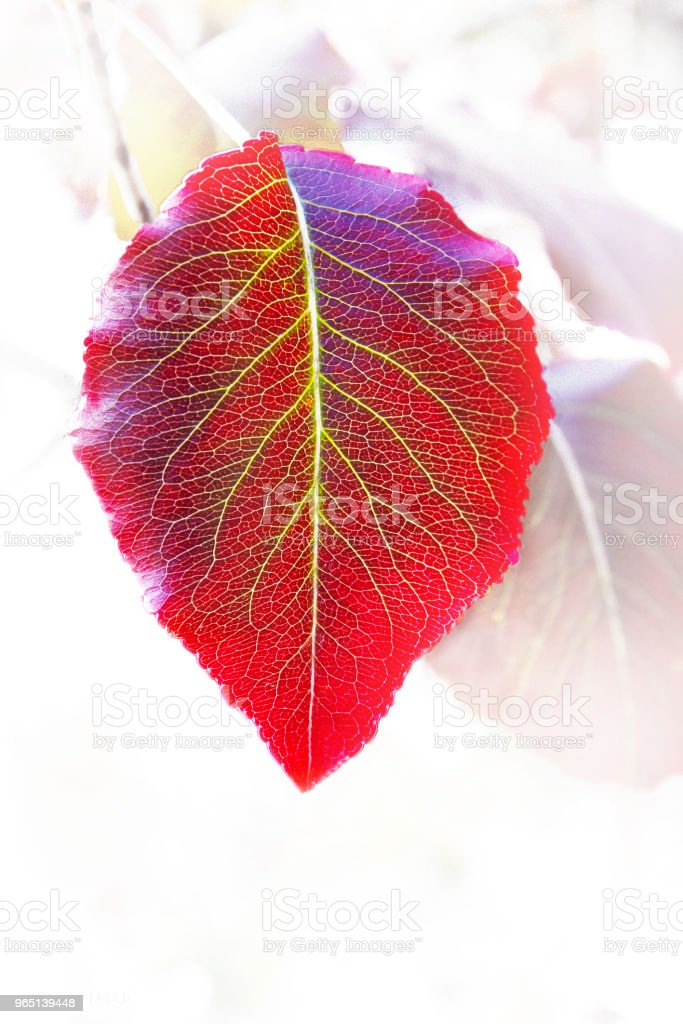 Closeup of single bright autum leaf with yellow veins against blurred leaf background royalty-free stock photo