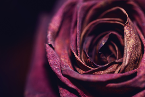 Close-Up Of Single Delicate Dried Rose