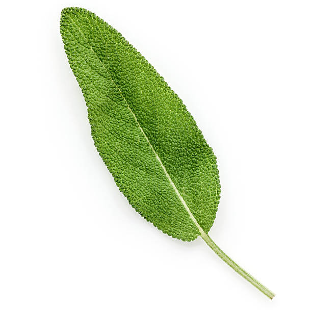 Closeup of single fresh sage leaves isolated on white background – Foto