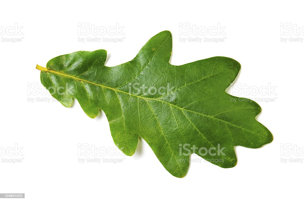 Close-up of single oak leaf against white background stock photo