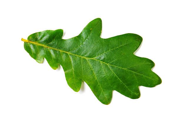 oak leaf - eichenblatt stock-fotos und bilder