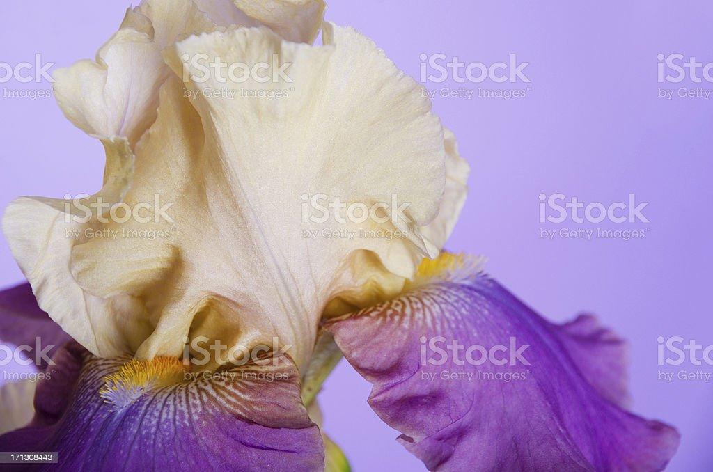 Closeup of single two tone iris. royalty-free stock photo