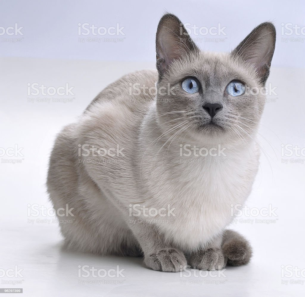 Close-up of sitting Siamese Cat looking up stock photo