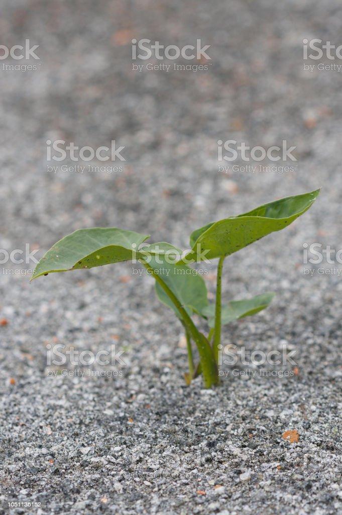 Gros plan de plante petite alocasia inhospitalier sable rugueux - Photo